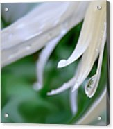 White Daisy Petals Raindrops Acrylic Print by Jennie Marie Schell