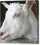 White Goat Acrylic Print by Ann Horn