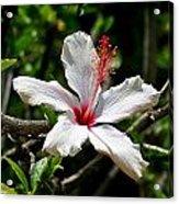 White Hibiscus Acrylic Print by DUG Harpster