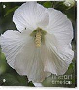 White Hibiscus Squared Acrylic Print by Teresa Mucha