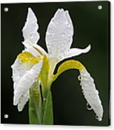 White Iris Acrylic Print by Juergen Roth