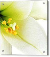 White Lilly Macro Acrylic Print by Johan Swanepoel