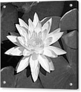 White Lotus 2 Acrylic Print by Ellen Henneke