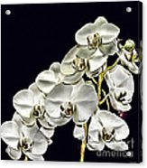White Orchids Acrylic Print by Tom Prendergast