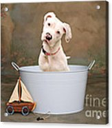 White Pitbull Puppy Portrait Acrylic Print by James BO  Insogna