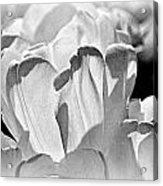 White Tulip Acrylic Print by Marty Koch