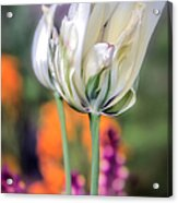 White Tulip Splash Of Color Acrylic Print by Julie Palencia