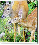 Whitetailed Deer Doe And Fawn Acrylic Print by A Gurmankin