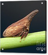 Widefooted Treehopper II Acrylic Print by Clarence Holmes