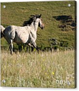 Wild Appaloosa Running Away Acrylic Print by Sabrina L Ryan