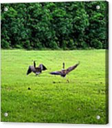 Wild Goose Chase Acrylic Print by Kristin Elmquist