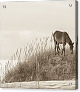 Wild Horse On The Outer Banks Acrylic Print by Diane Diederich