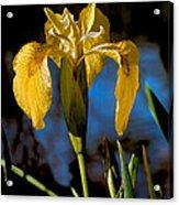Wild Iris Acrylic Print by Robert Bales