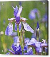 Wild Irises Acrylic Print by Rona Black