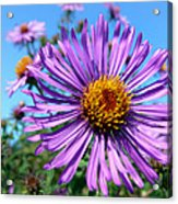 Wild Purple Aster Acrylic Print by Christina Rollo