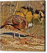 Wild Turkey Acrylic Print by Al Powell Photography USA