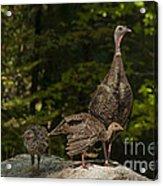 Wild Turkey And Chicks Acrylic Print by Ron Sanford