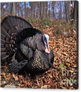 Wild Turkey Displaying Acrylic Print by Len Rue Jr