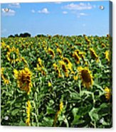 Windblown Sunflowers Acrylic Print by Robert Frederick