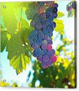 Wine Grapes  Acrylic Print by Jeff Swan