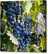 Wine Grapes Acrylic Print by Tetyana Kokhanets