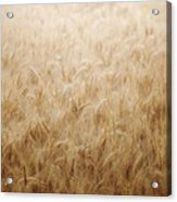Winsome Wheat Acrylic Print by Amy Tyler