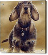 Wire Haired Dachshund Acrylic Print by John Silver