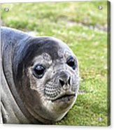 Woeful Weaner Acrylic Print by Ginny Barklow