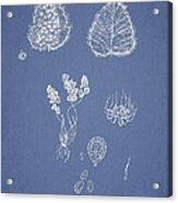 Woodsia Lanosa Acrylic Print by Aged Pixel