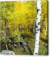 Yellow Aspens Acrylic Print by Baywest Imaging