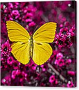 Yellow Butterfly Acrylic Print by Garry Gay