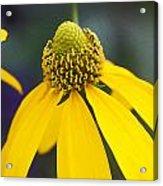 Yellow Cone Flower Rudbeckia Acrylic Print by Rich Franco