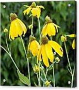 Yellow Cone Flowers Rudbeckia Acrylic Print by Rich Franco