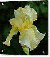 Yellow Iris Acrylic Print by Sandy Keeton
