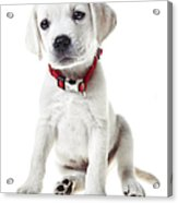 Yellow Lab Puppy Acrylic Print by Diane Diederich