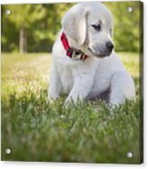 Yellow Lab Puppy In The Grass Acrylic Print by Diane Diederich