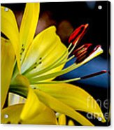 Yellow Lily Anthers Acrylic Print by Robert Bales