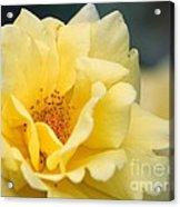 Yellow Rose Macro Acrylic Print by Carol Groenen