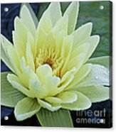 Yellow Water Lily Nymphaea Acrylic Print by Heiko Koehrer-Wagner