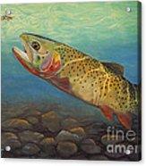 Yellowstone Cut Takes A Salmon Fly Acrylic Print by Rob Corsetti