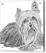 Yorkshire Terrier Drawing Acrylic Print by Catherine Roberts