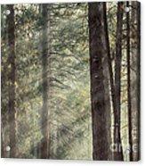 Yosemite Pines In Sunlight Acrylic Print by Jane Rix