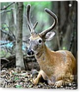 Young Buck At Rest Acrylic Print by Paul Ward