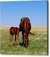 Young Colt And Mother Acrylic Print by Jeff Swan