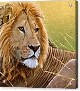 Young Lion Acrylic Print by Aaron Blaise