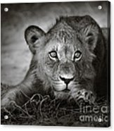 Young Lion Portrait Acrylic Print by Johan Swanepoel