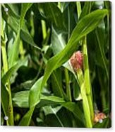 Young Maize Plant Acrylic Print by Frank Gaertner