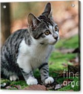 Young Manx Cat Acrylic Print by James L. Amos