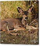 Young Mule Deer Acrylic Print by Robert Bales