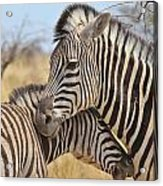 Zebra Bite Of Love Acrylic Print by Hermanus A Alberts